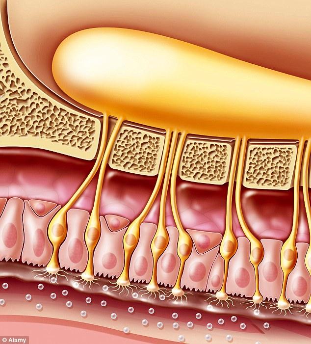 Il nervo olfattivo funziona solo se le terminazioni della mucosa nasale sono libere e non schiacciate dai polipi nasali.